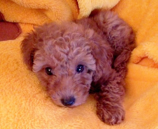 miniature poodle puppy, cute puppy