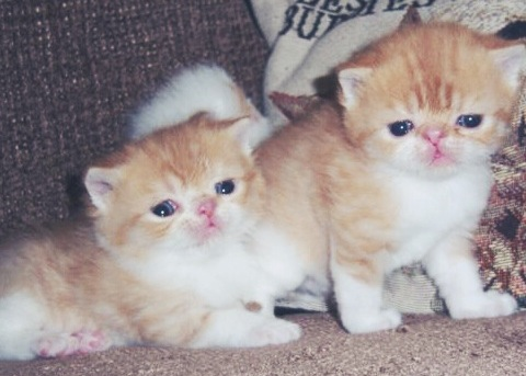 exotic short hair kittens, cute kittens