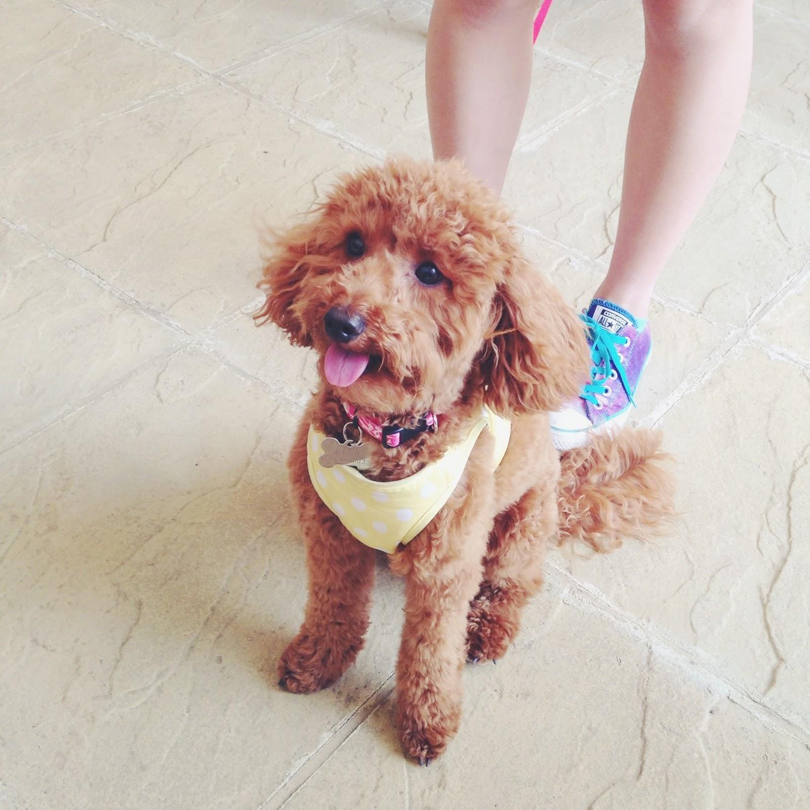 miniature poodle, toy poodle, miniature poodle haircut, poodle haircut
