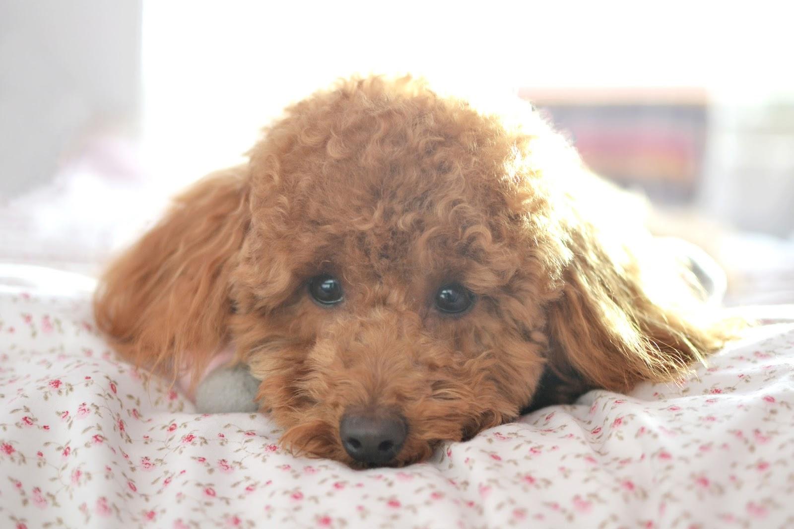 miniature poodle, toy poodle, poodle, apricot poodle