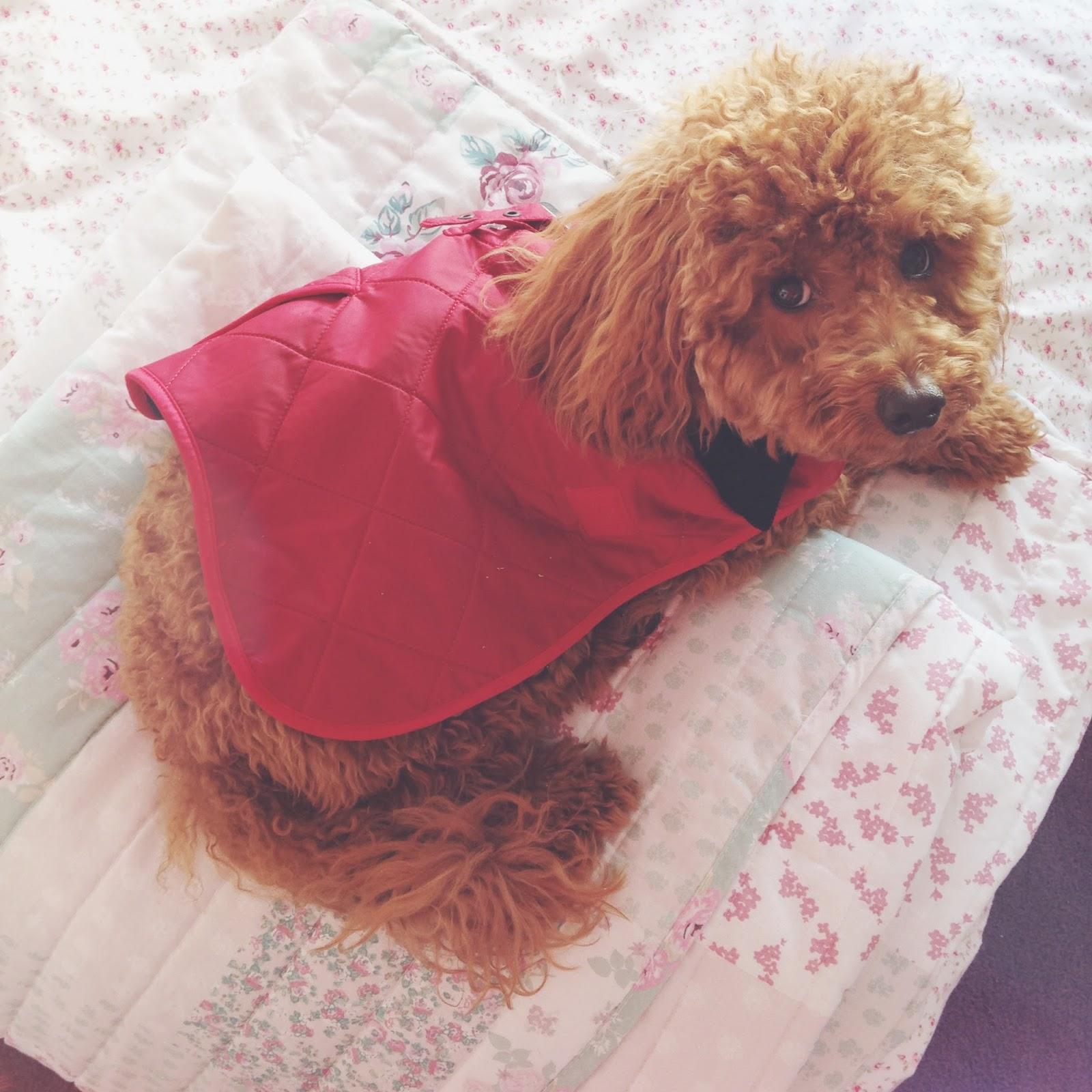 miniature poodle, barbour coat for pets